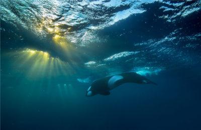 Orca in the last sun rays