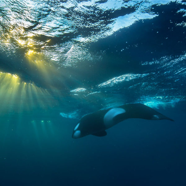 Orca in the last sun rays - Audun Rikardsen