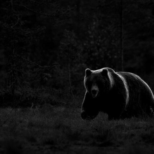 A wild brown bear (ursus arctos ) backlit in the low sunset light